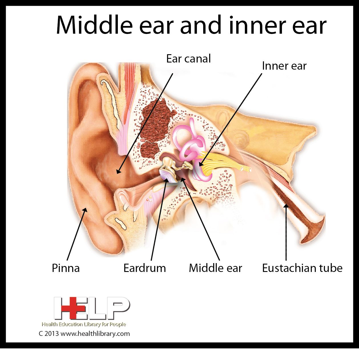 Middle Ear and Inner Ear | Human Anatomy Diseases Tests and ...