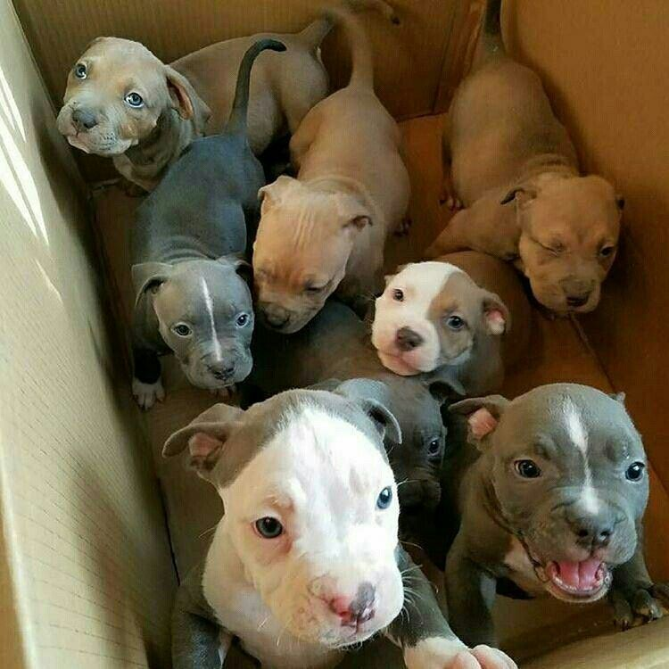 Pitbull for sale 7 puppies available puppies for sale