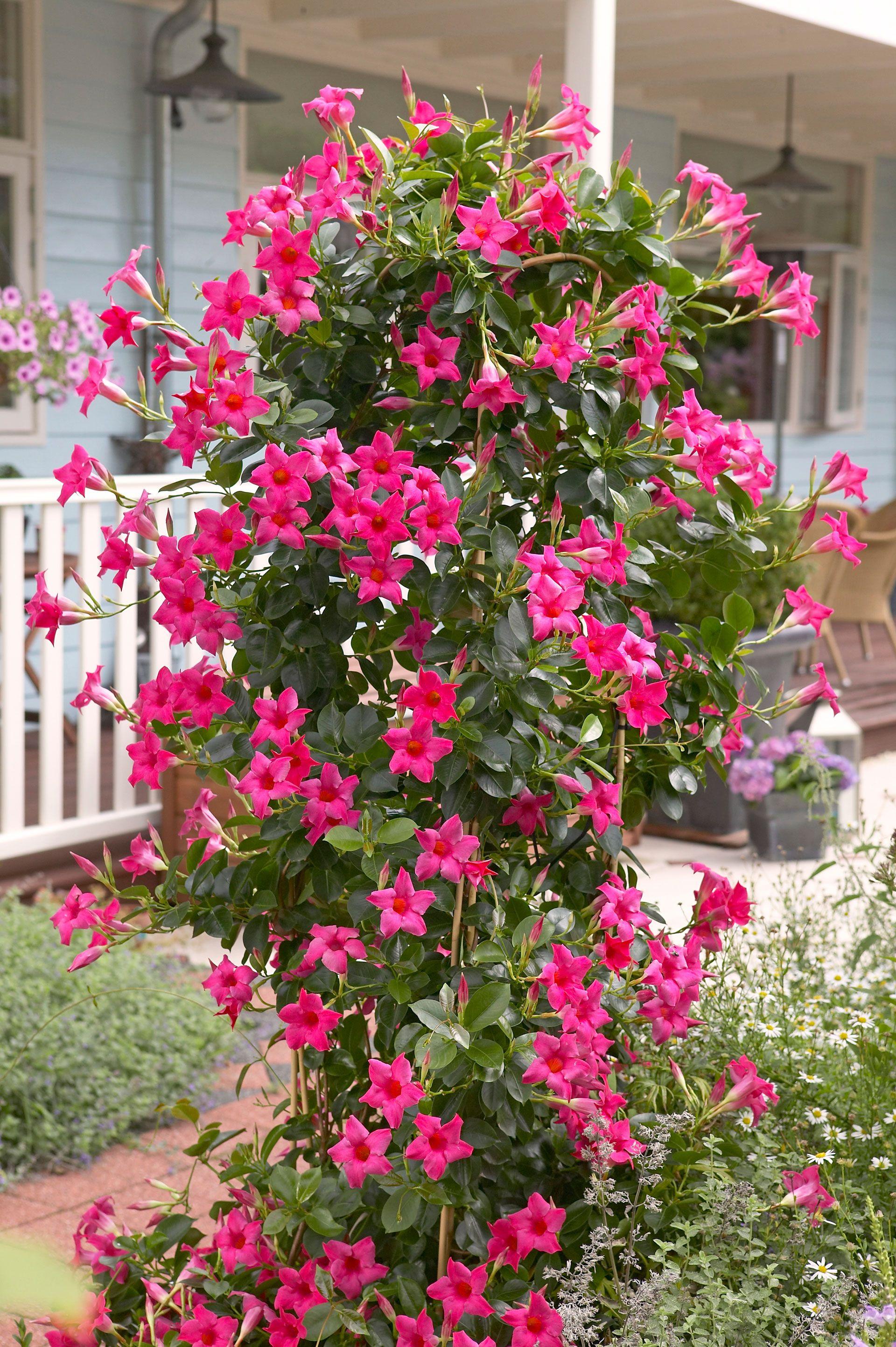Dipladenia mandevilla futo virag szereti a meleg for Plants for outdoor garden