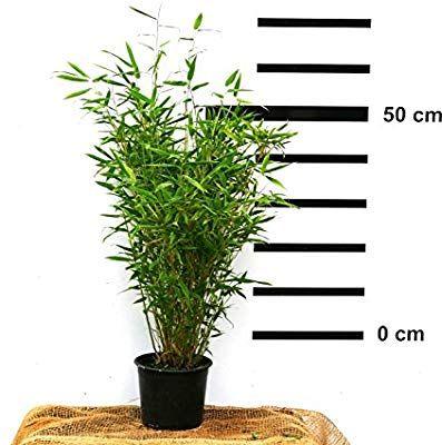 Bambus Fargesia Jumbo Winterhart Hortsig Und Schnell Wachsend