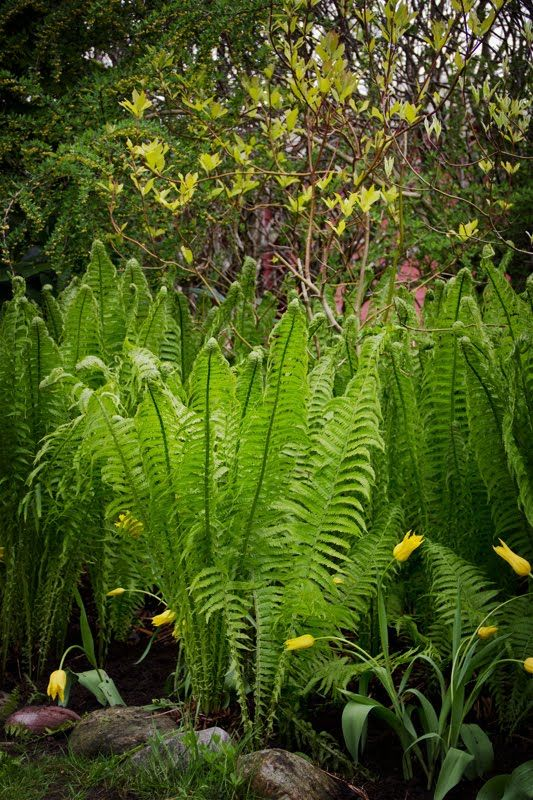 solrum trädgård- ormbunkar och kornell, fint