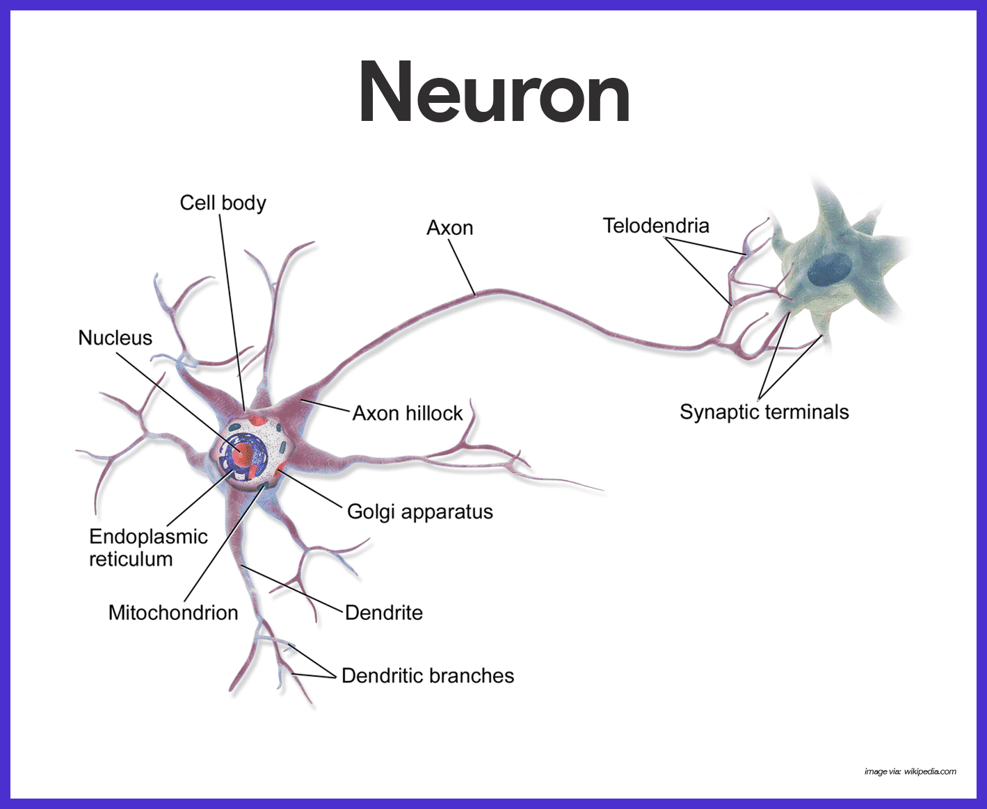 Nervous System Anatomy And Physiology In