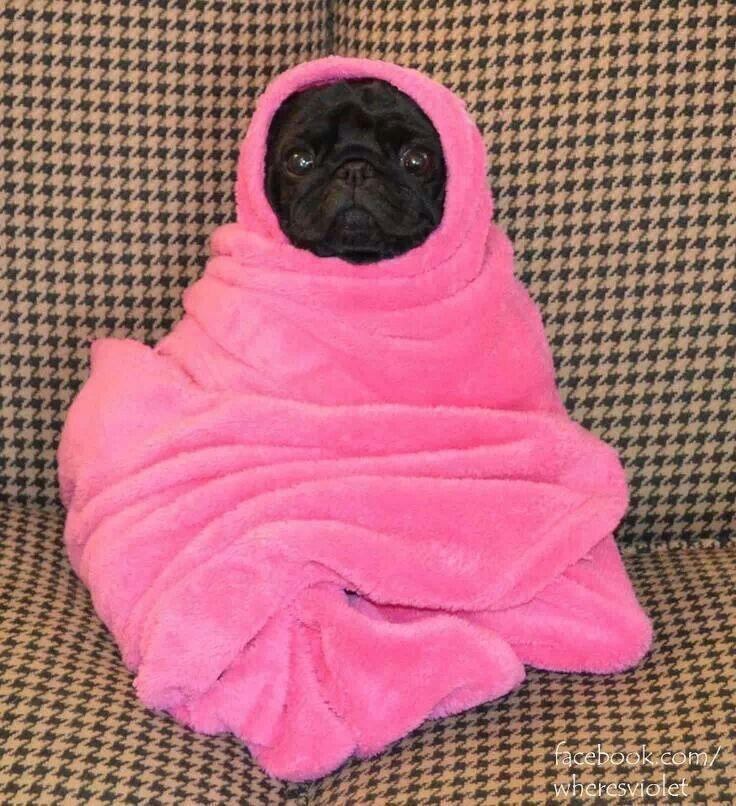 Pug In A Blanket Cute Pugs Pugs Pug Puppies