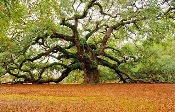 Old tree Angel Oak in South Carolina