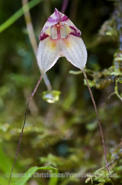 Masdevallia nidifica | Flickr - Photo Sharing!