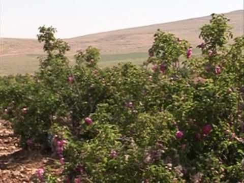 La rosa de Damasco, de las más antiguas variedades en el mundo - YouTube
