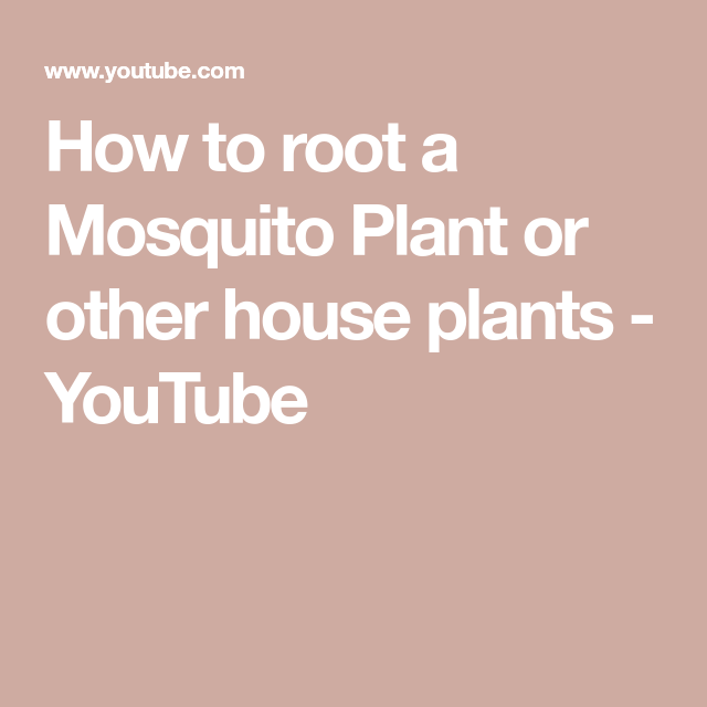 How to root a Mosquito Plant or other house plants - YouTube #mosquitoplants