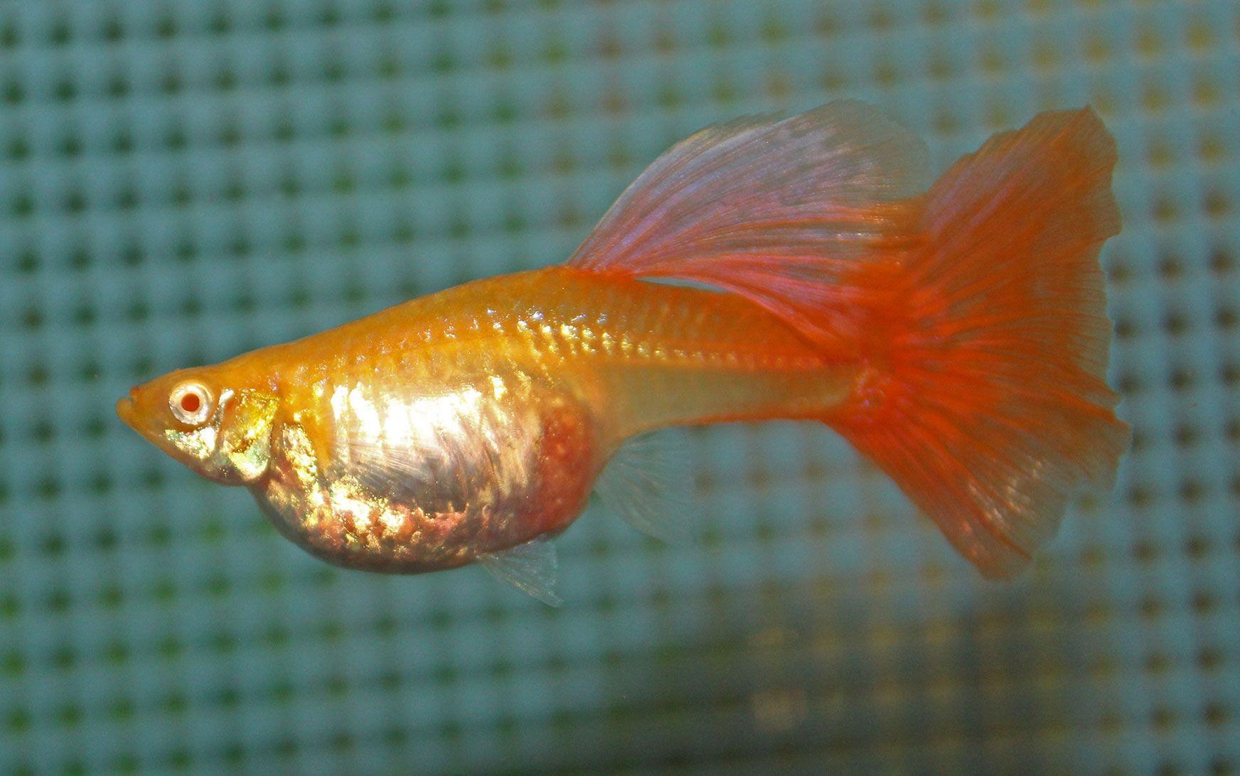 Female Guppy Guppy Fish Betta Aquarium Fresh Water Fish Tank