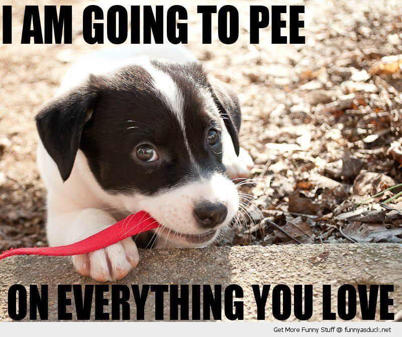 I Am Going To Pee Puppy Meme Funny Animals Cute Puppies