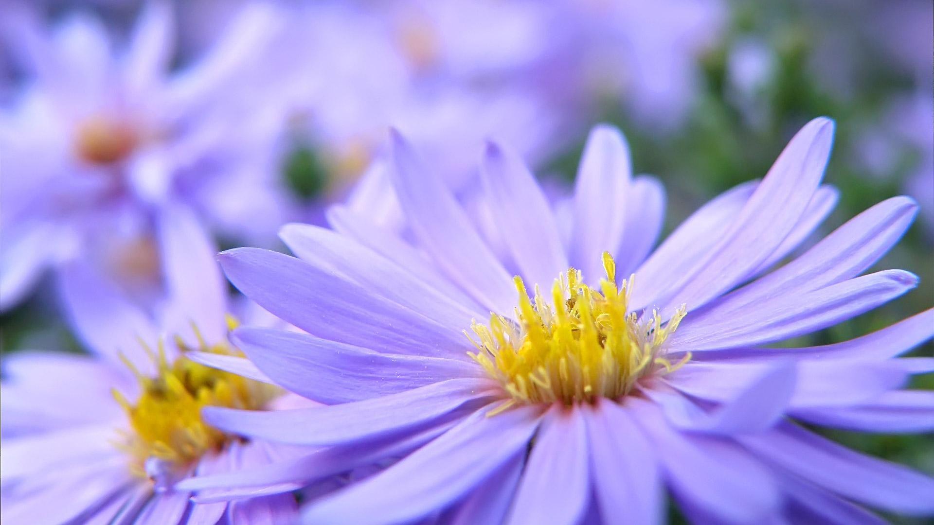 Beautiful Purple Daisy Flowers 19201080 1080p Widescreen Hd
