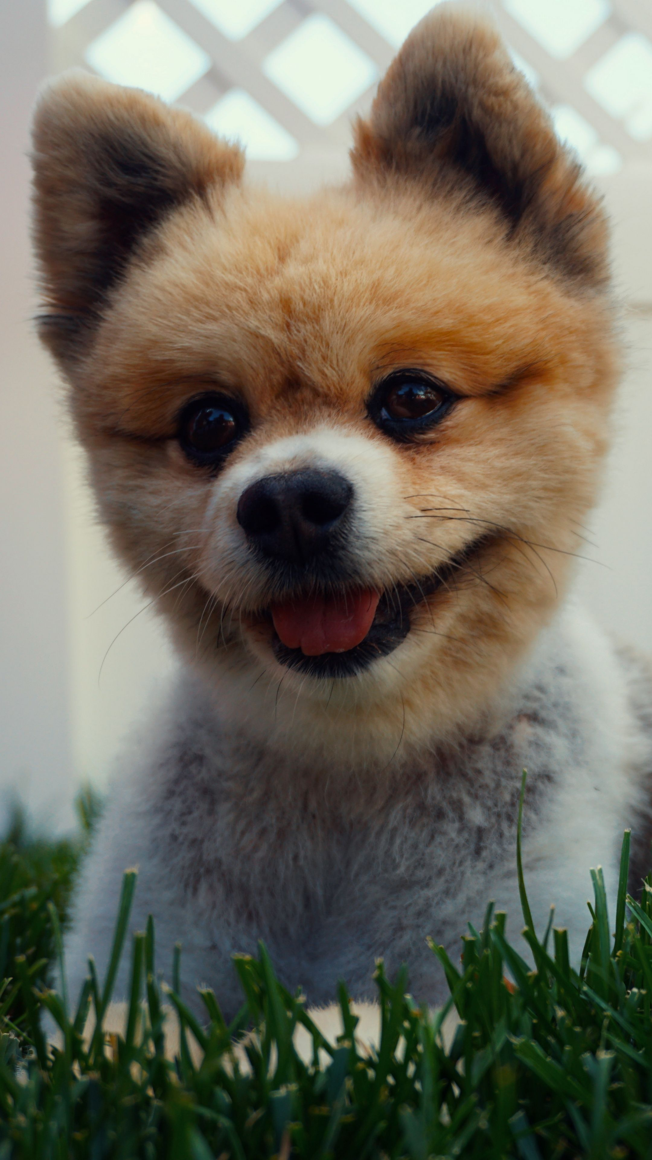 Animals Pomeranian Puppy Dog Wallpapers Hd 4k Background For Android Pets Animals Puppies Hd wallpaper pomeranian dog animal pet