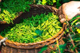 Just how good is green tea?  Apparently it's one of the best things you can drink if you're not sensitive to caffeine...