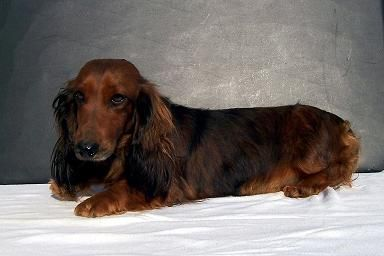 Red Sable Long Haired Dachshund Dachshund Dachshund Breed