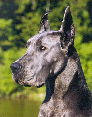 Great Dane Patient And Friendly Dane Puppies Merle Great