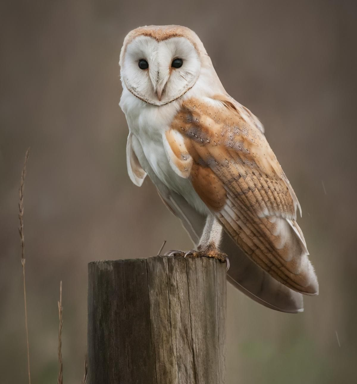 Image result for barn owl diet | Owl species, Owl photos ...