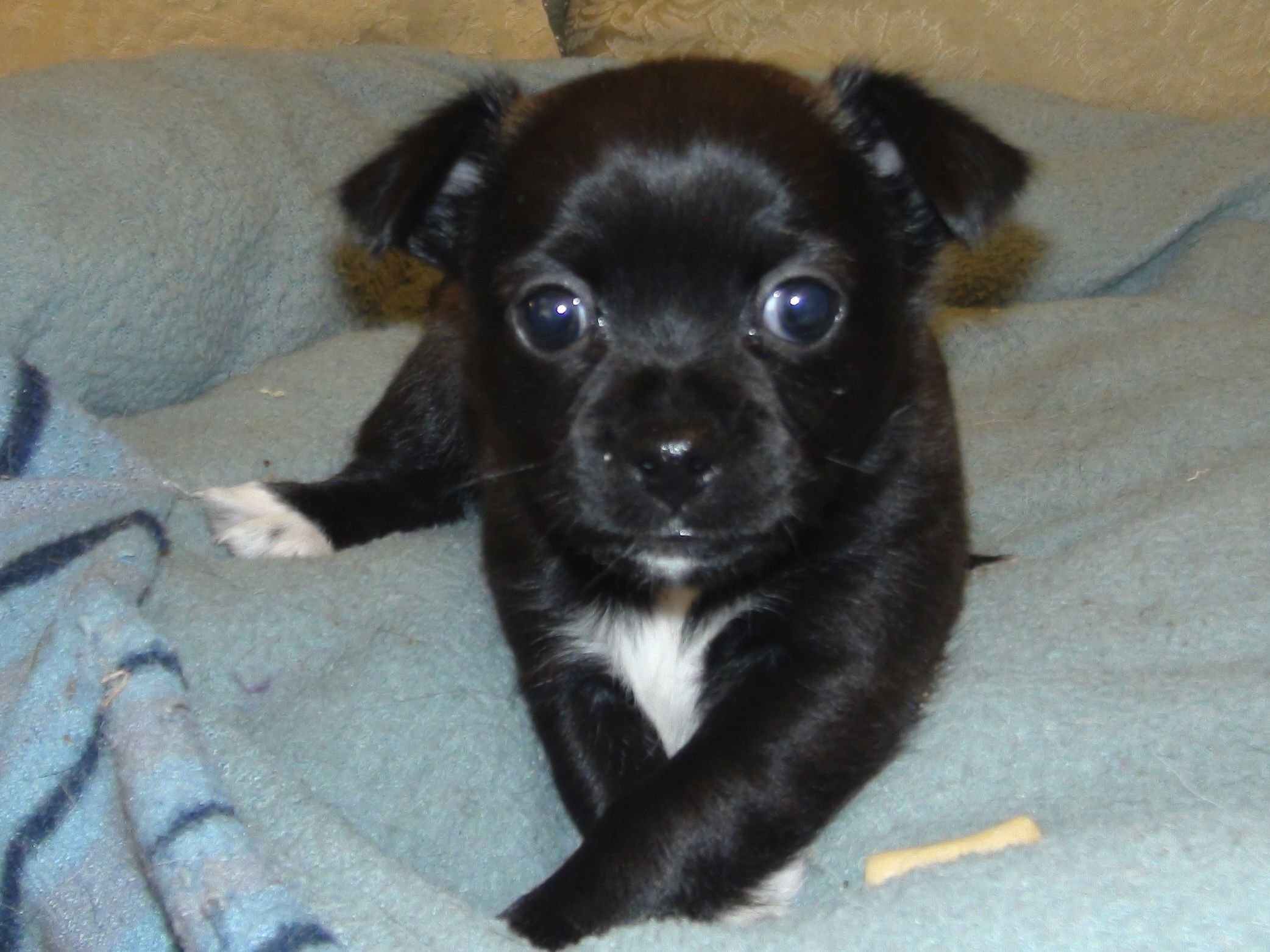 Chihuahua Puppies For Sale Born October 19 26 2015 View Videos Photos Fredericksburg Va Chihuahua Chihuahua Puppies Chihuahua Puppies For Sale