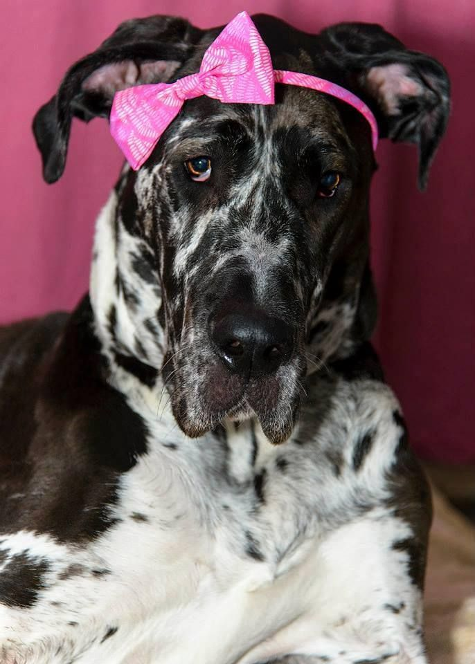 Great Dane Patient And Friendly With Images Great Dane