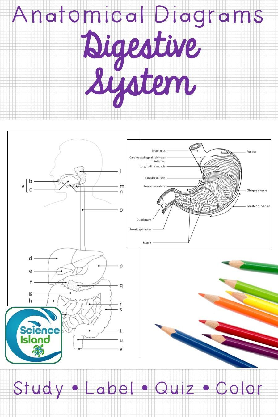 Digestive System Diagrams and Quizzes (Distance Learning ...