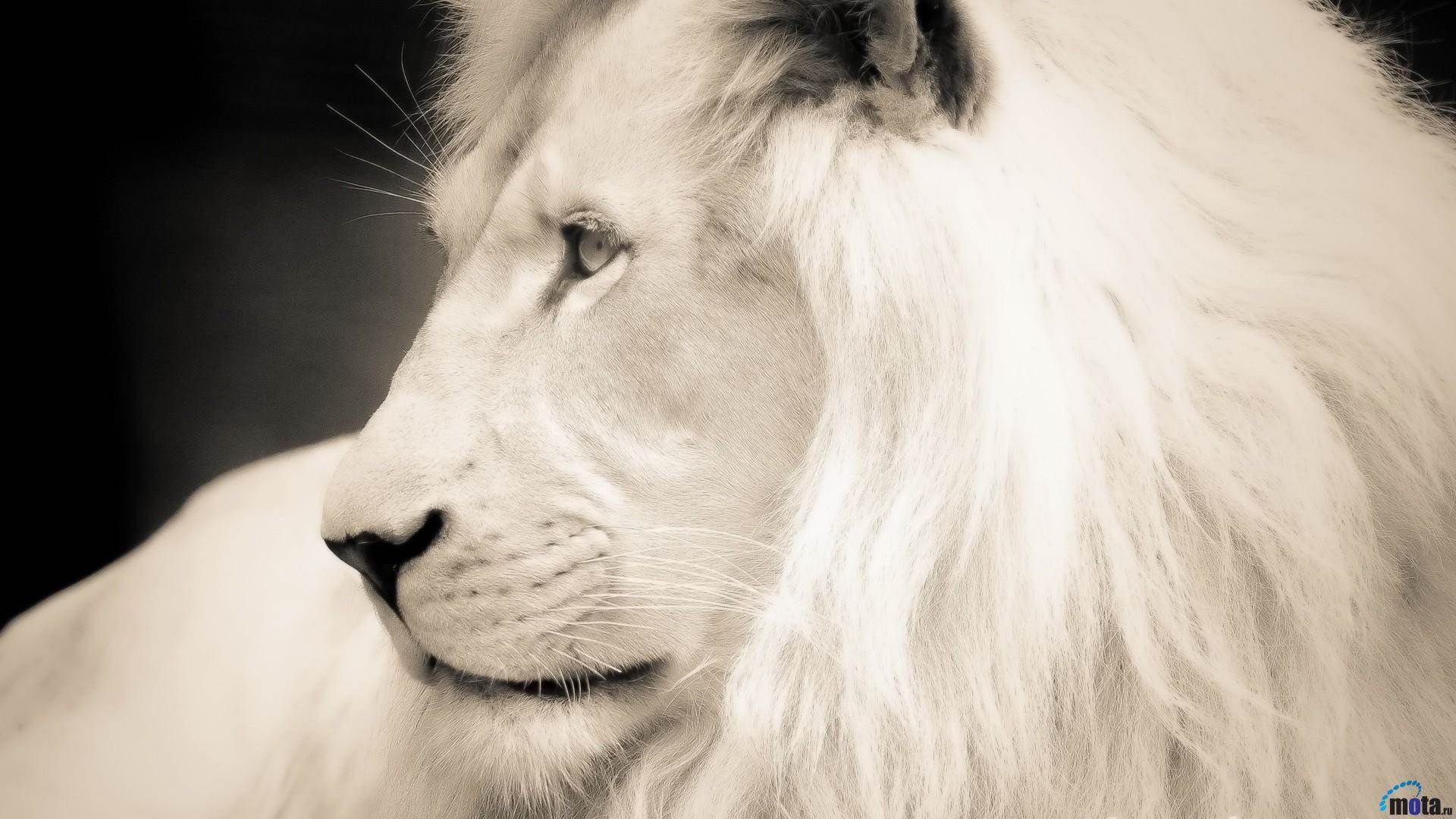 White Lion Hd Wallpapers Backgrounds Wallpaper 1920 1080 White Lion Images Adorable Wallpapers White Lion Images White Lion Lion Wallpaper