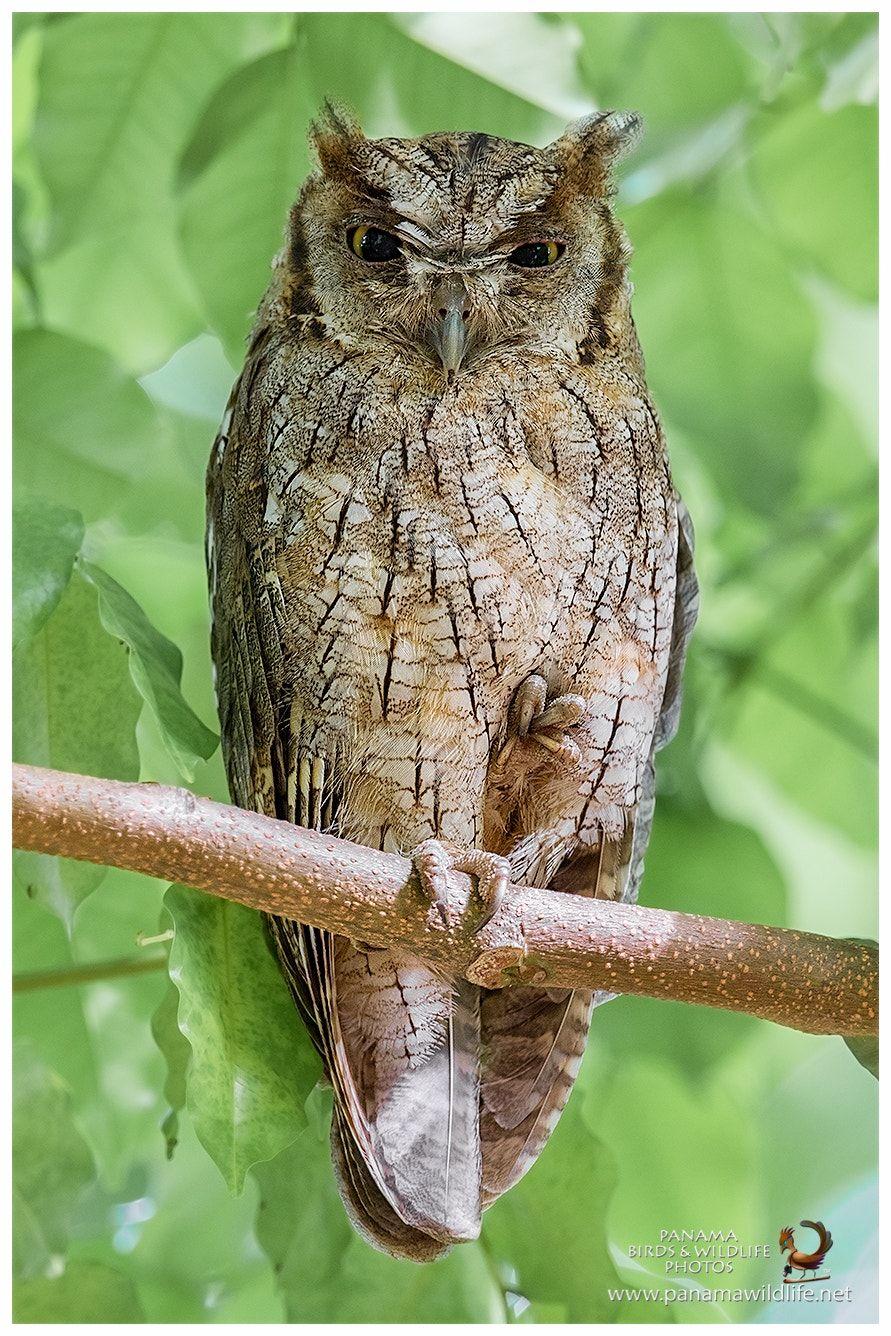Tropical Screech Owl Autillo Tropical O Turututú Megascops