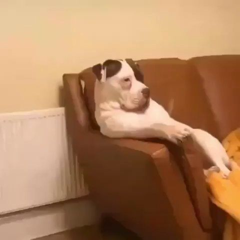 Can you stop bothering me and grab me a beer? Im just trying to watch tv. Follow @petsstory1 . . . Credit: Lawrie via TikTok .  #dog #dogs #pup #pups #puppy #puppies #doggo #pupper #puppies #puppylove #doglover #lovedogs #lovepuppies #lovedog #goodboy #goodgirl