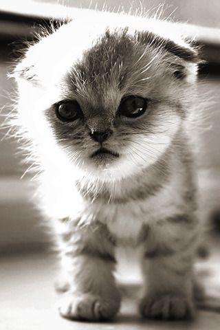 Scottish Fold Kitten Beyond Adorable Kittens Cutest Cute