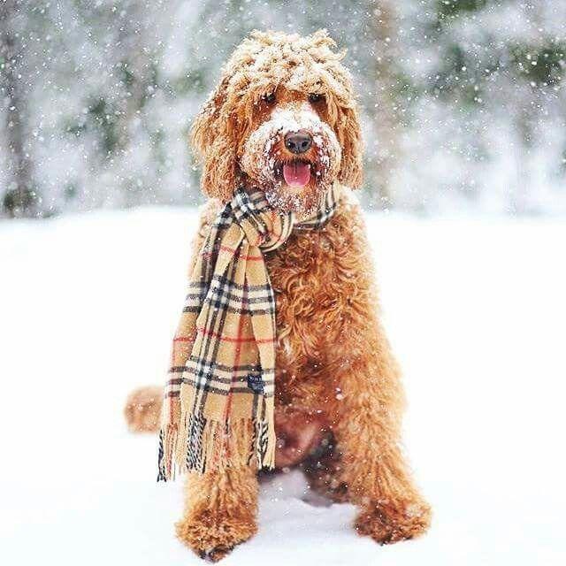 The Preppy Fox Fancitaste Pinterest Doodle Dog Dog Love