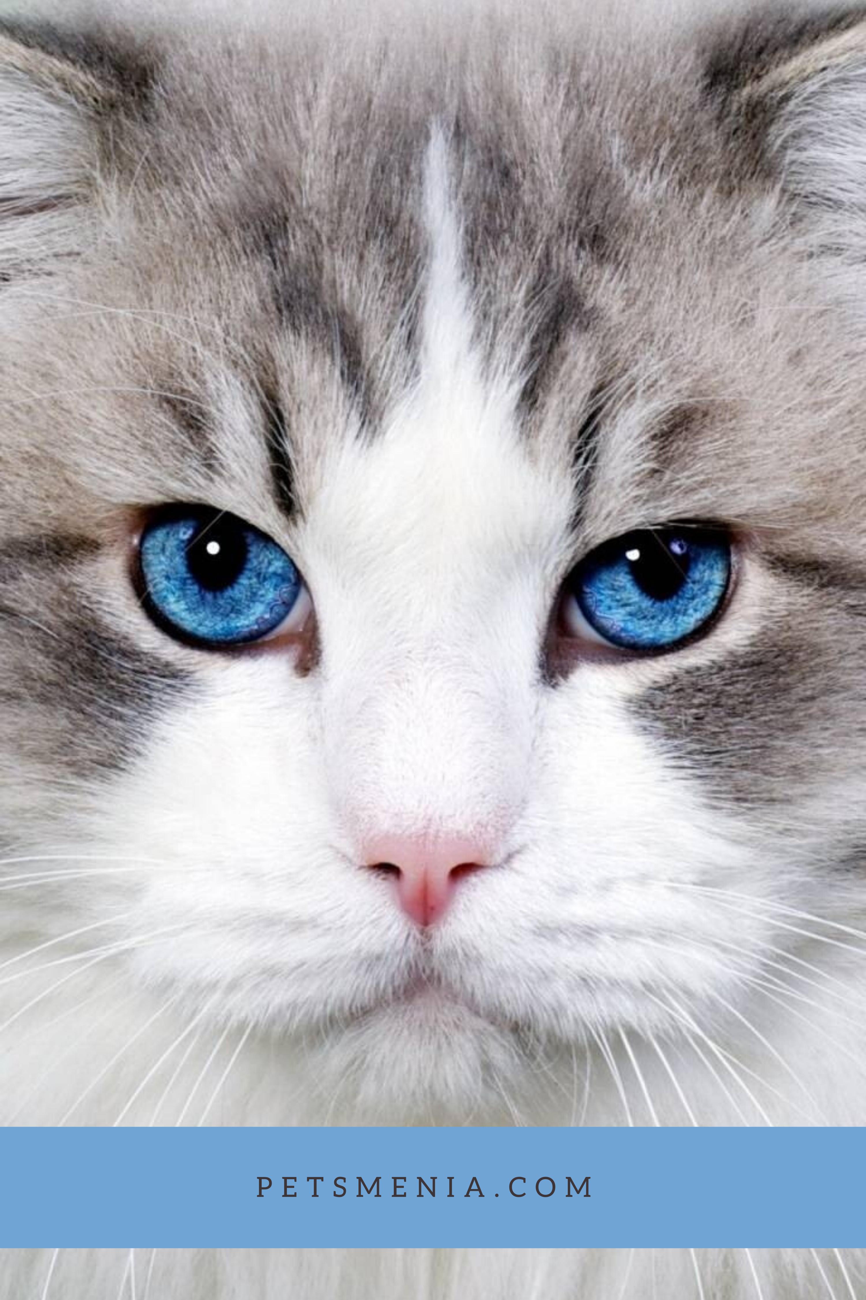 Persian Cat Persian Blue Eyes Cat Breed in 2020