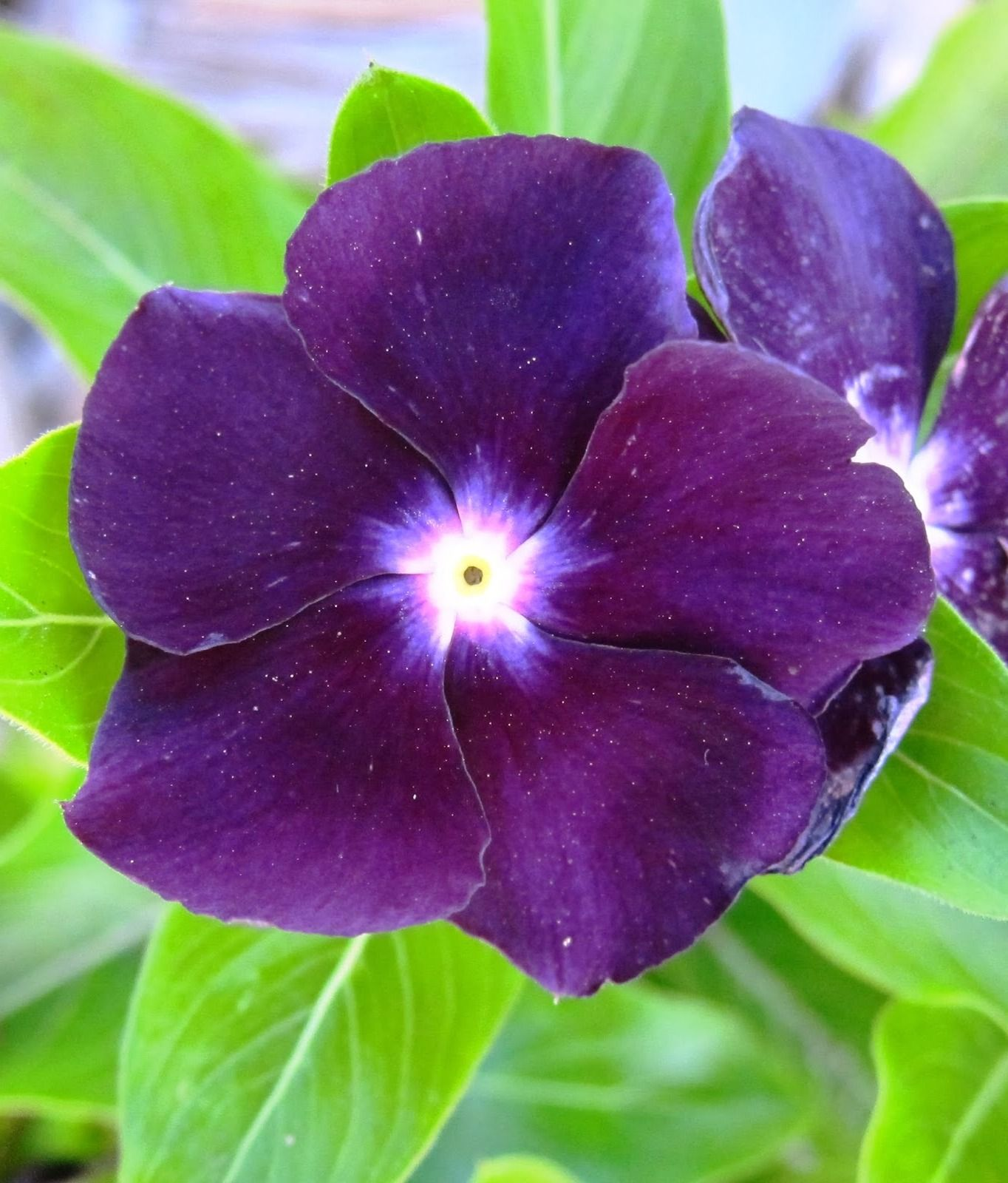 65e4aed94 Vinca 'Blueberry' | CVEĆE | Periwinkle flowers, Flowers, Purple flowers