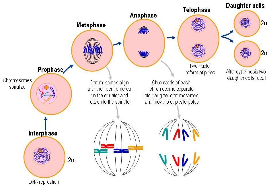 16+ Mitosis in plants vs animals ideas