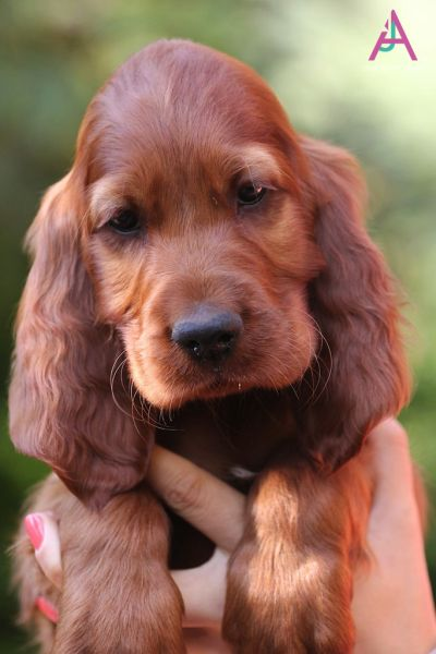 Orange Boy Exclusively Setters Spaniel Puppies Irish Setter Puppy Irish Setter Dogs