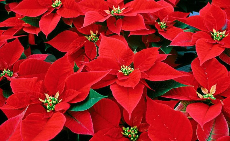 Are Poinsettias Poisonous Milberger S Landscape Nursery Flower Clubs Christmas Plants Christmas Flowers