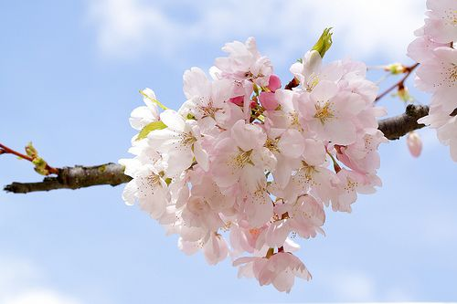 Enter To Win A Copy Of The Ornamental Cherries In Vancouver Guidebook Cherry Blossom Festival Ornamental Cherry Cherry Blossom