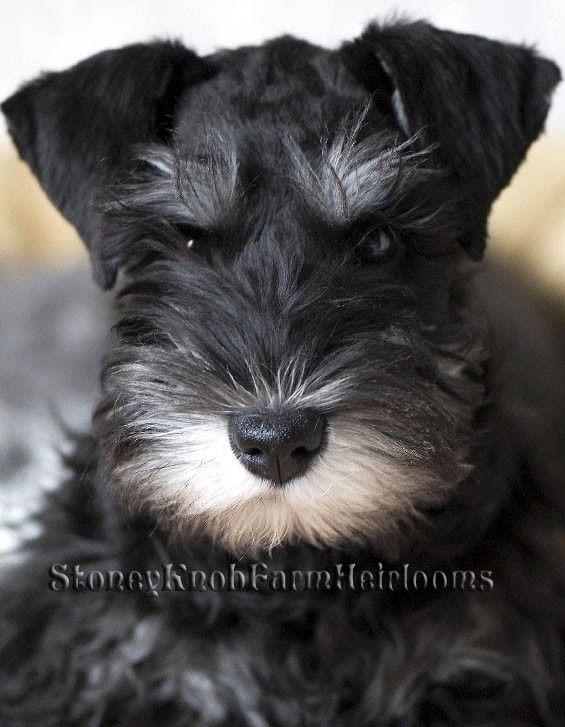 Schnauzer Miniature Puppy For Sale In San Tan Valley Az Adn 22777 On Puppyfinder Com Gender Fema Miniature Puppies Puppies For Sale Mini Schnauzer Puppies