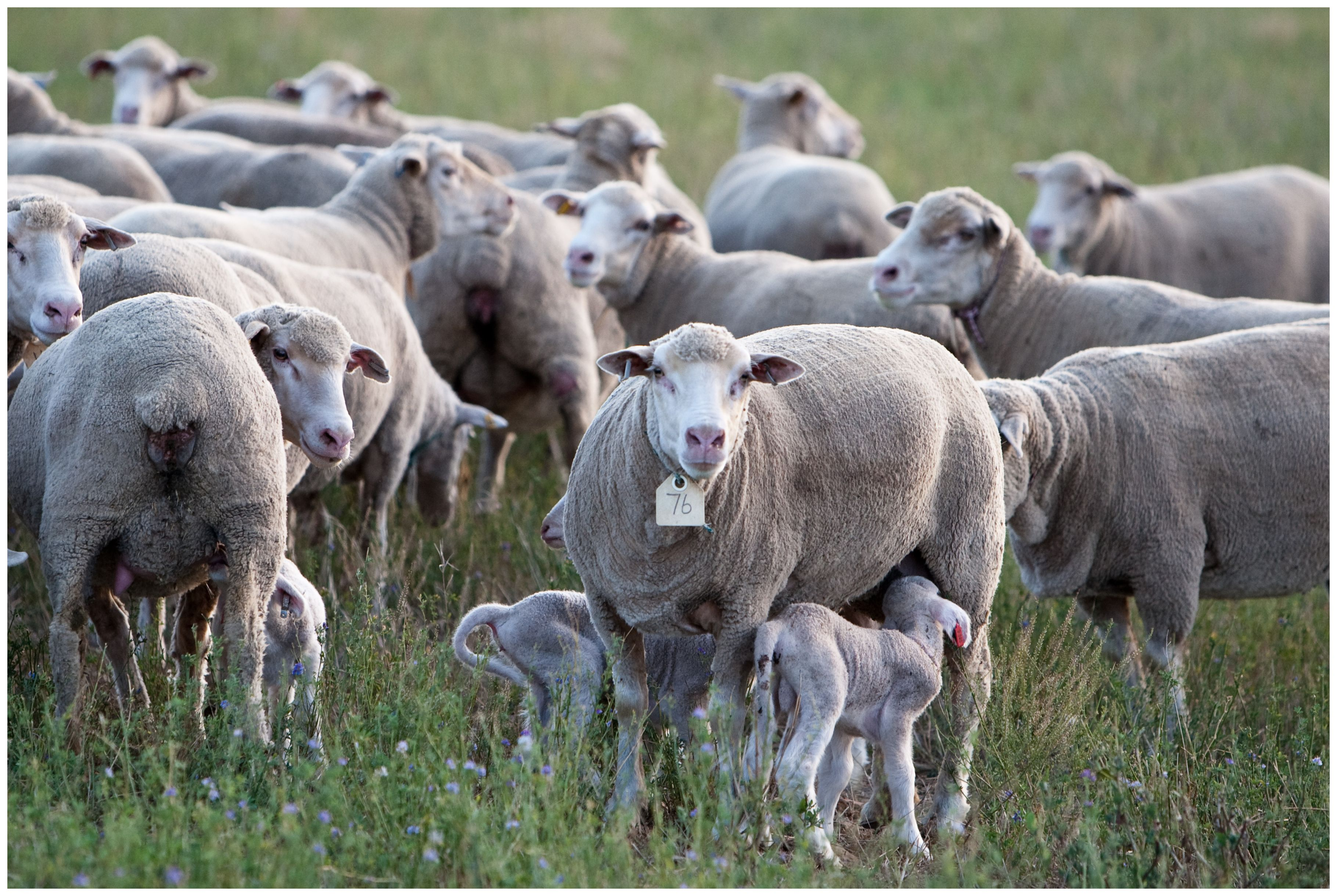 Dohne Merino Ewe With Twin Lambs Sheep Animals Herding