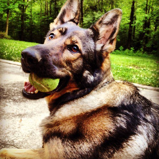 German Shepherd German Shedder Dog Breeds Medium Dog Breeds Dogs
