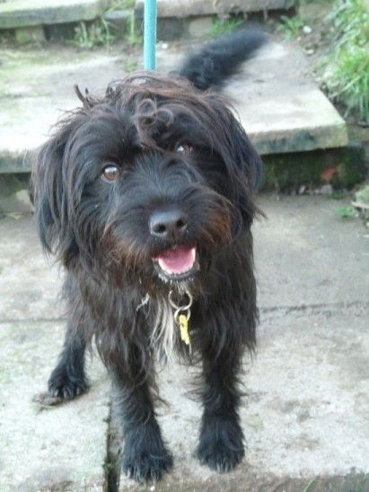 Scruff 12 Month Old Male Patterdale Terrier Cross Available For
