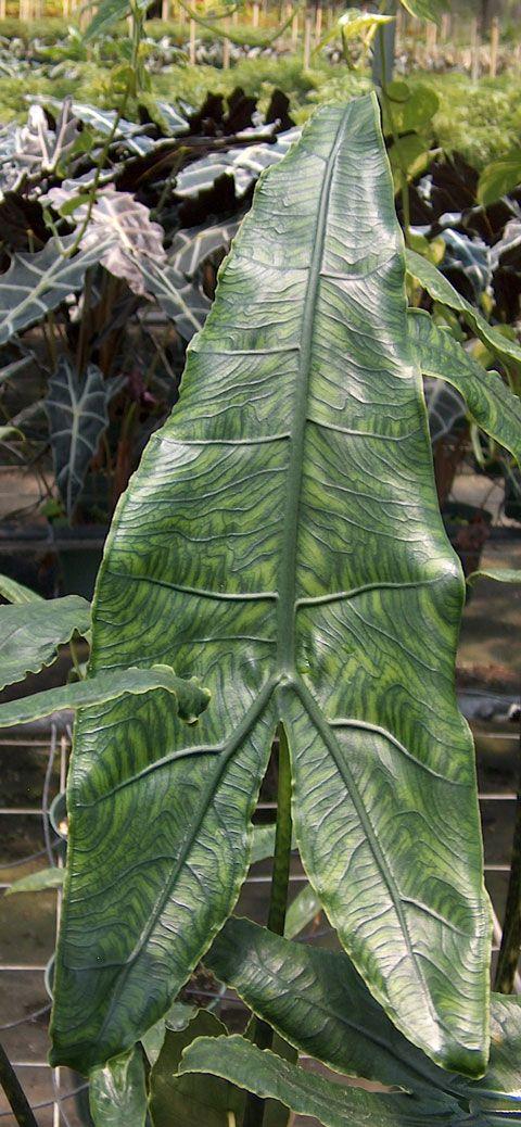 Alocasia reticulata pic 2