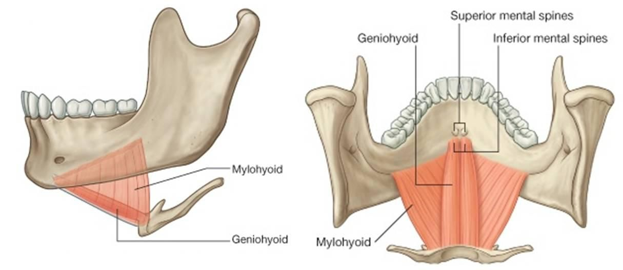 geniohyoid & mylohyoid muscles | Dentistry | Pinterest