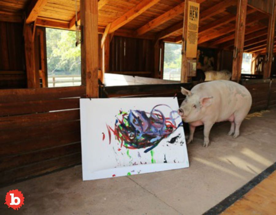 South African Rescued Pigcasso Paints Salty Masterpiece