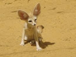 Rare Species Of Johannesburg Zoo Pet Fox Fennec Fox Pet Fennec Fox