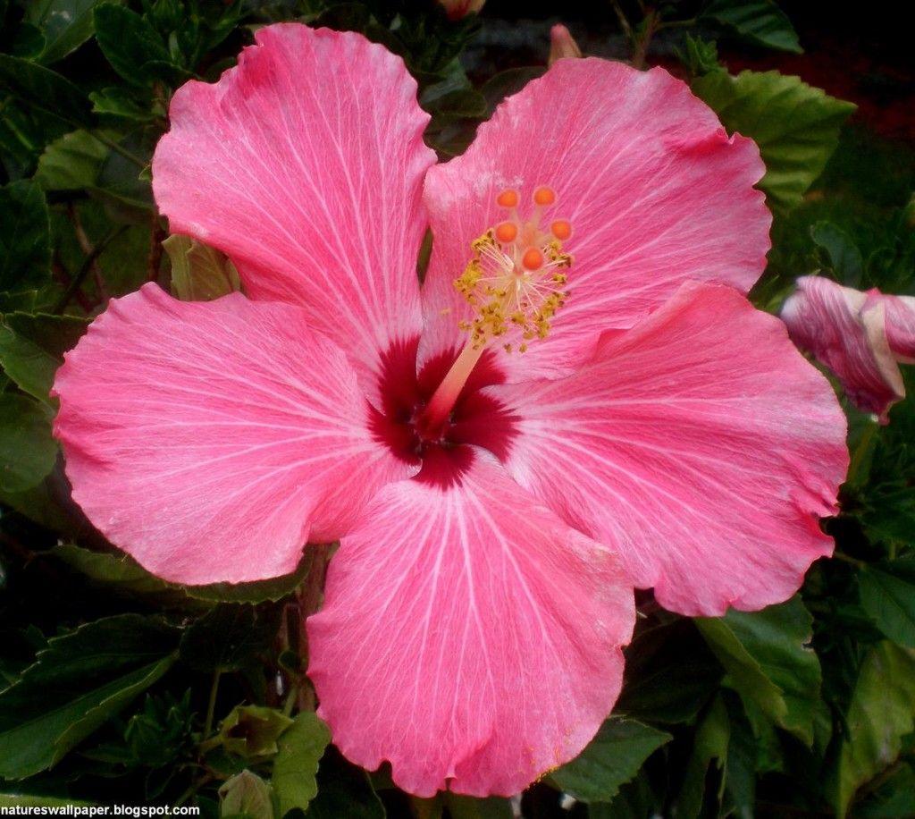 Hawaiian hibiscus flowers pinterest hibiscus tattoo hibiscus hawaiian hibiscus izmirmasajfo