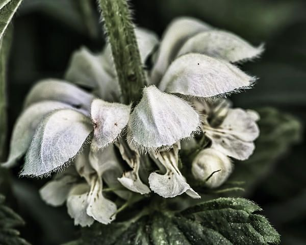 White nettle bloom cl by Leif Sohlman