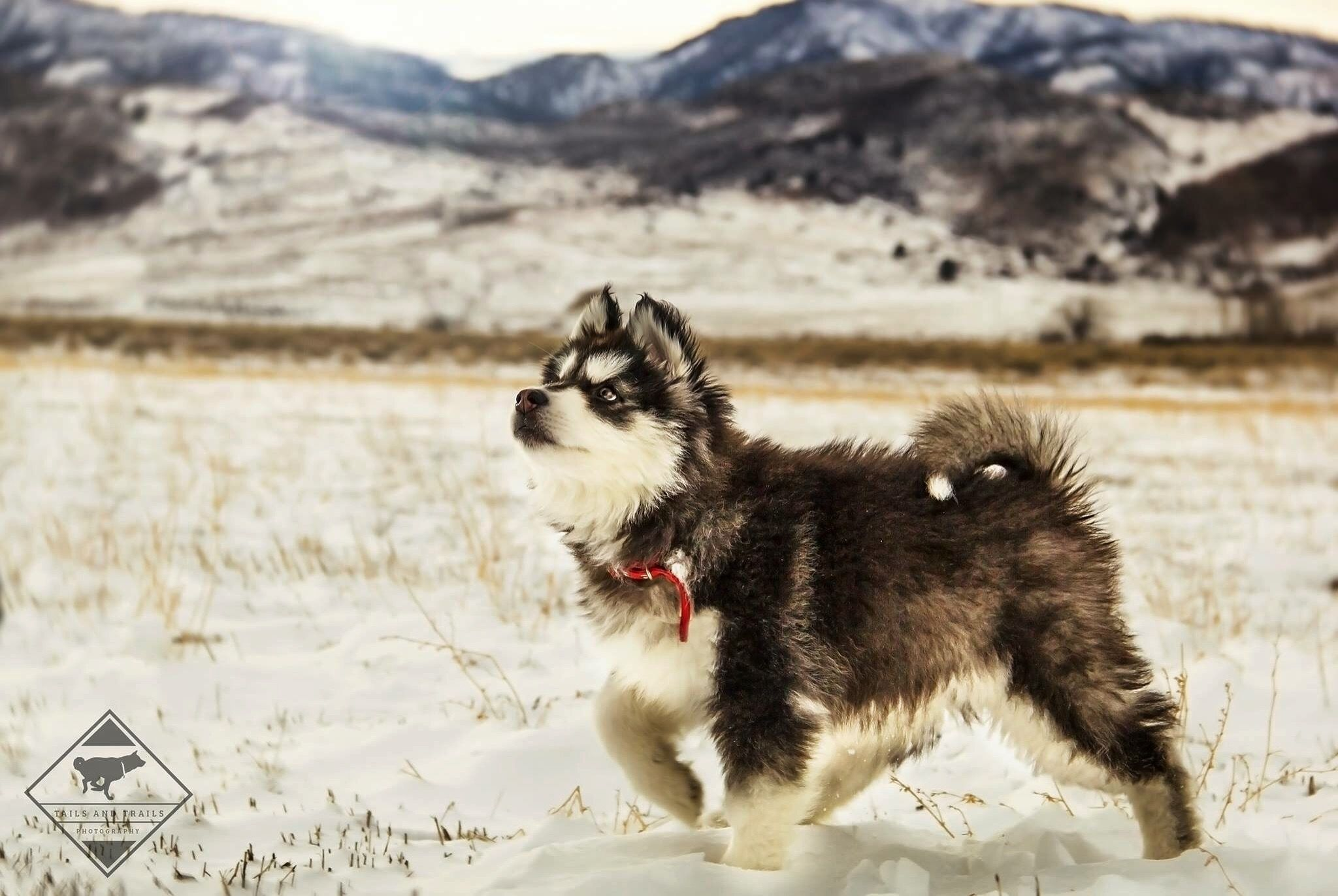Frank a male WolfMalamute Hybrid puppy for sale in