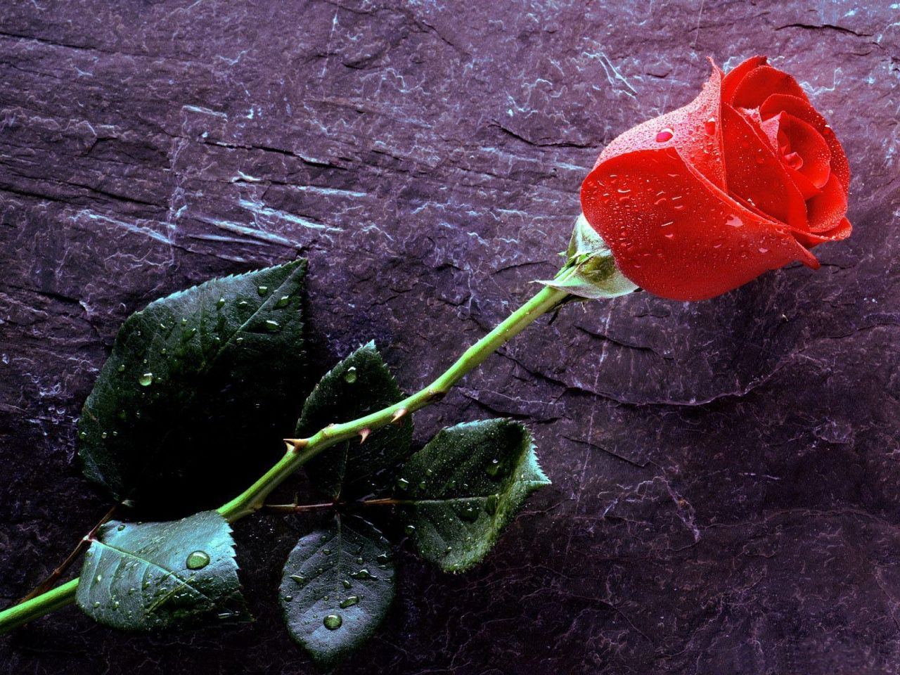 The Rose Beyond The Wall Flower Images Wallpapers Rose Flower