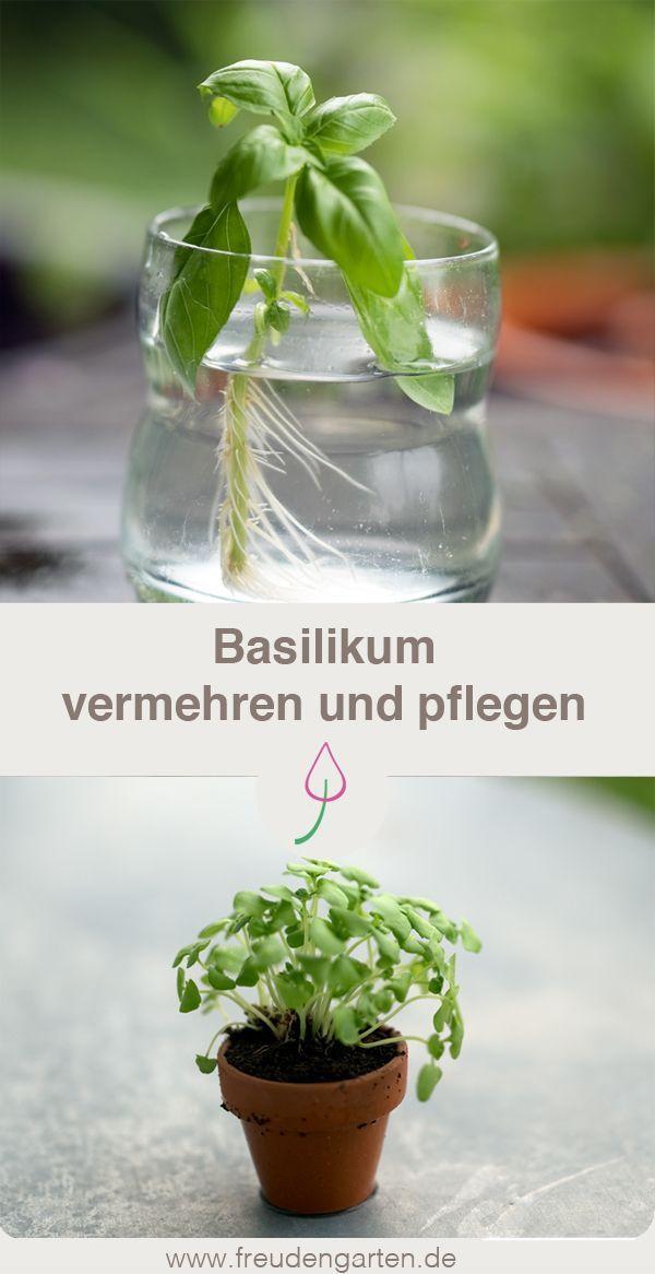 Basilikum erfolgreich vermehren - drei Methoden