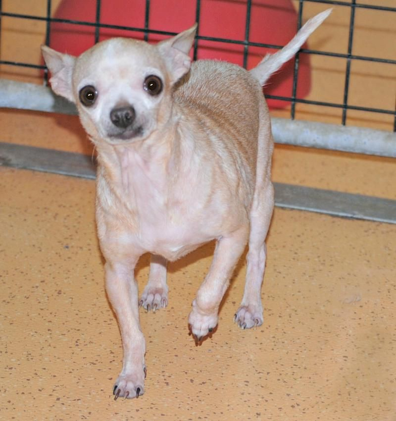 Meet Lucy A Petfinder Adoptable Chihuahua Dog Spring Lake Nj