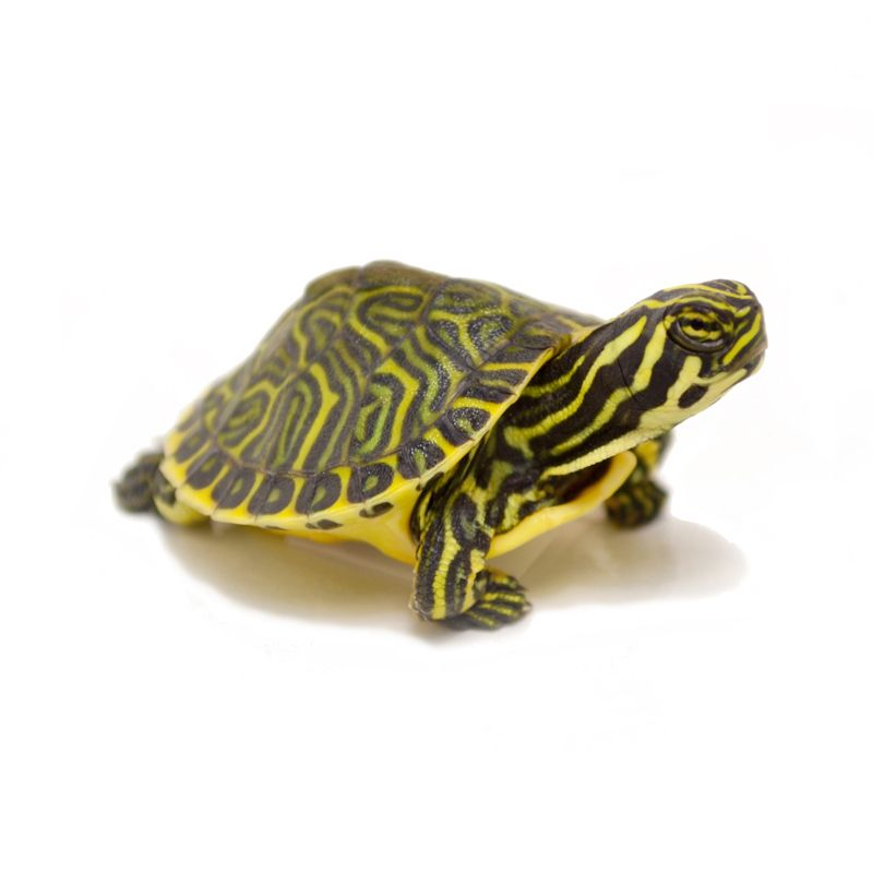 Baby peninsula cooter turtles turtles for sale turtle