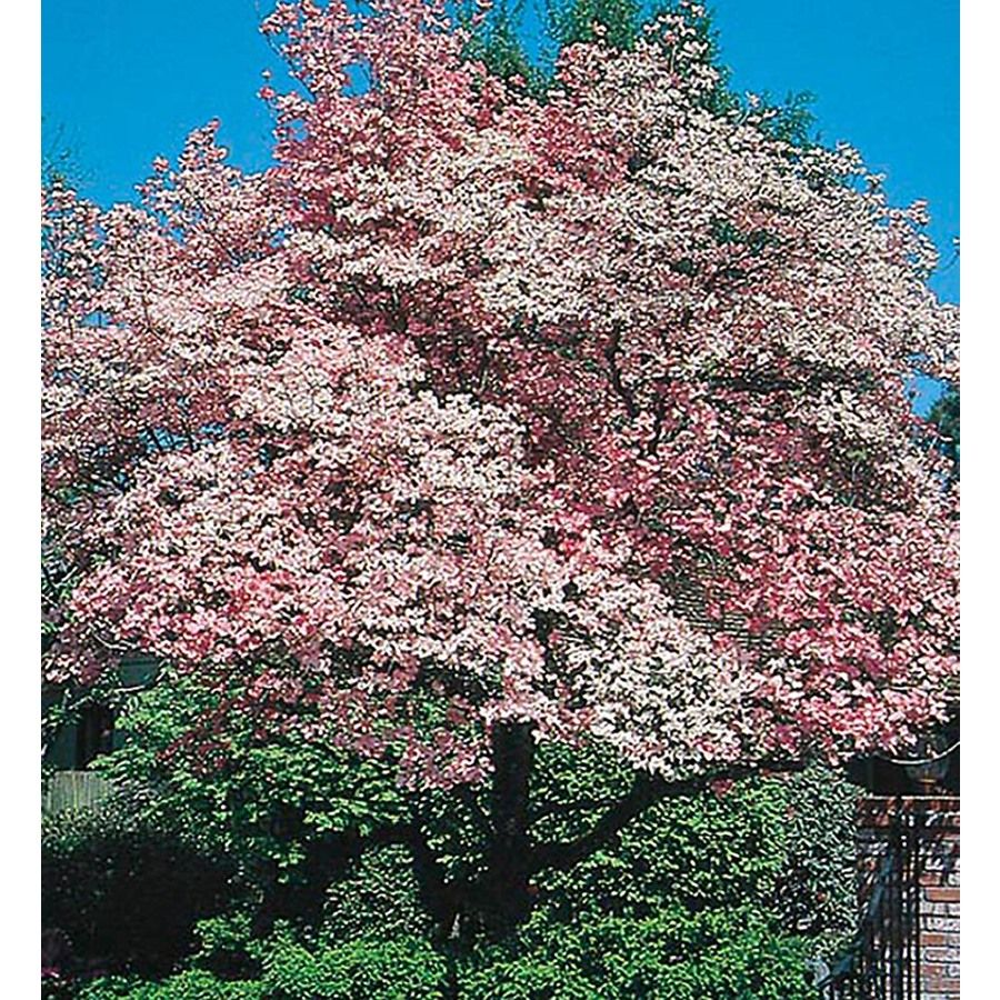 5 5 Gallon Pink Red Flowering Dogwood Flowering Tree In Pot L1022 Lowes Com Flowering Trees Potted Trees Dogwood Trees