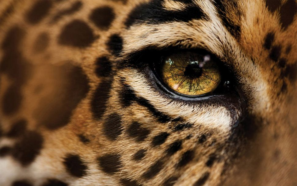Leopard Eye With Images Leopard Eyes